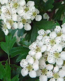 Tisane Aubépine, Au jardin d'Aïda, plantes aromatiques et médicinales, agriculture biologique