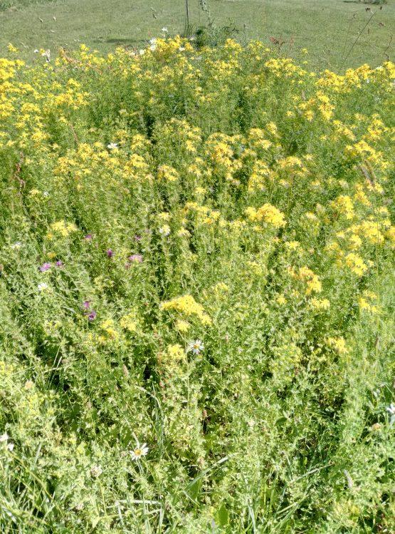huile millepertuis, au jardin d'aida, plantes aromatiques et médicinales limousin creuse